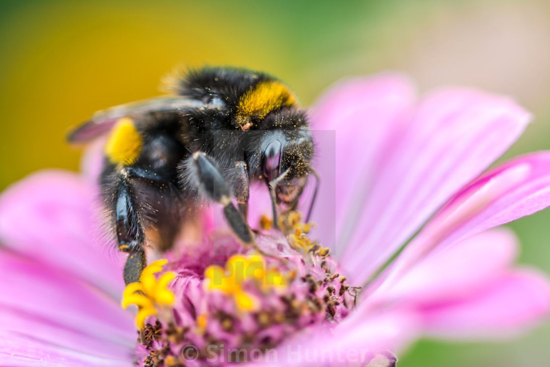 """Bee collecting pollen on a flower"" stock image"