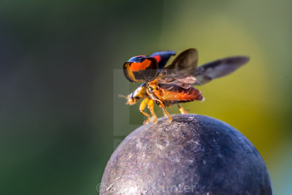"""Ladybird about to fly off"" stock image"