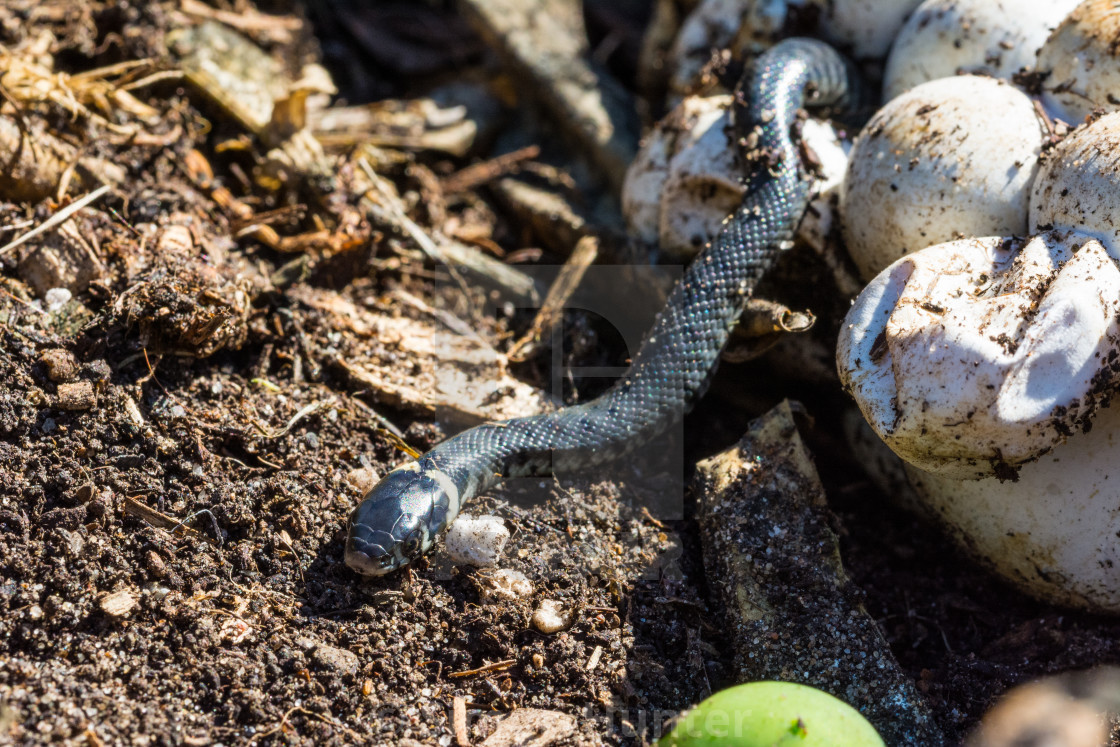 """Grass snake emerging from its egg"" stock image"