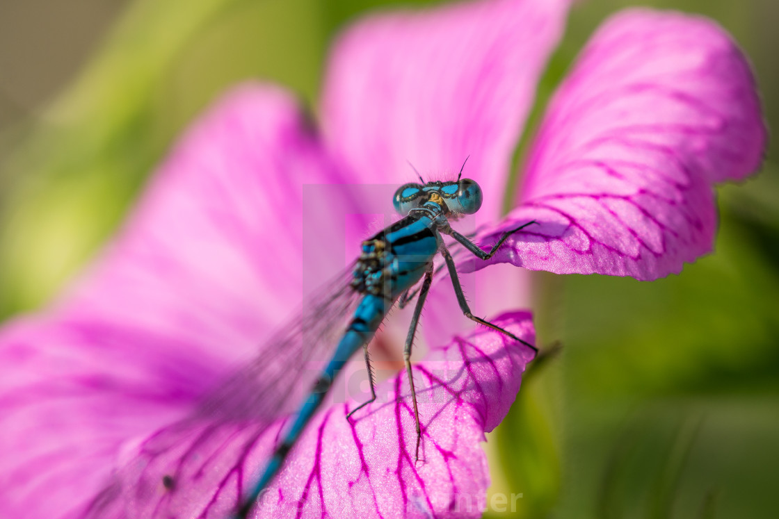 """Damselfly on a flower"" stock image"