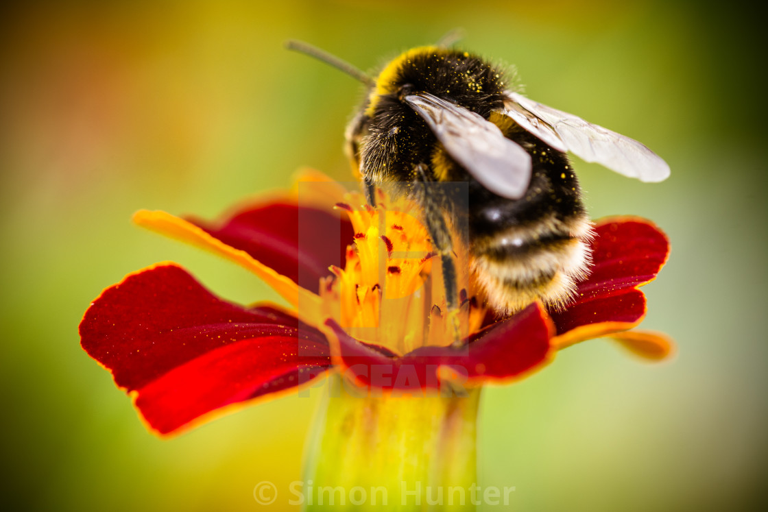 """Bee on a marigold"" stock image"