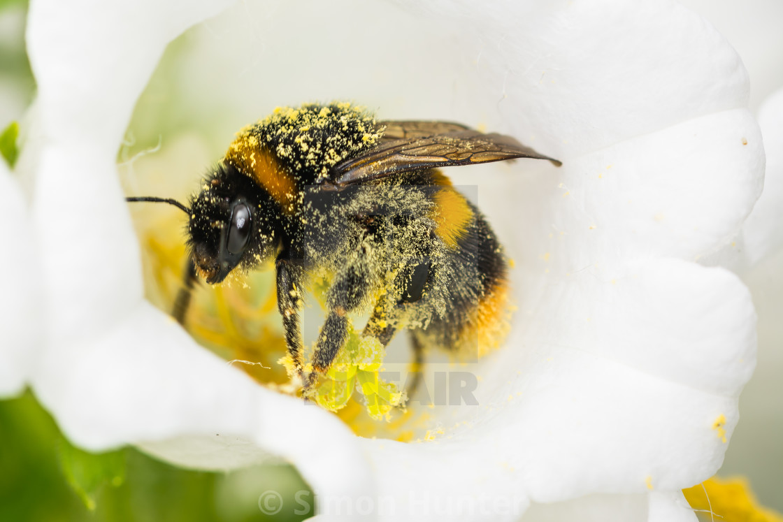 """Bee covered in pollen"" stock image"