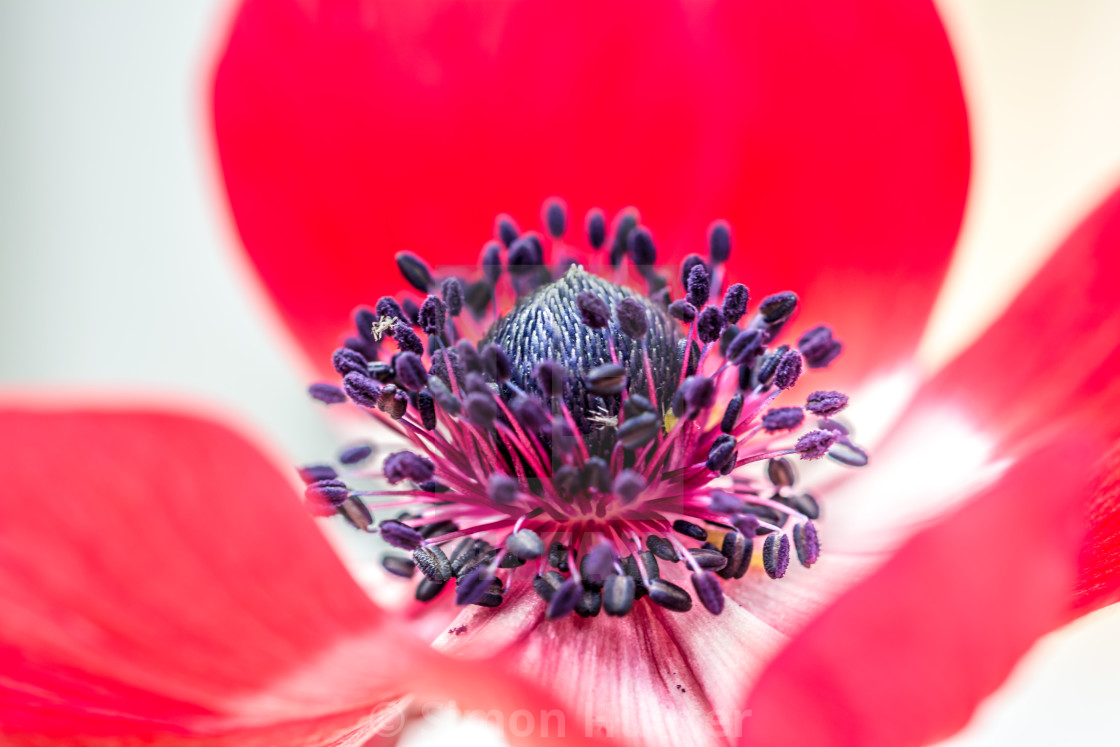 """Close-up of a anemone flower"" stock image"