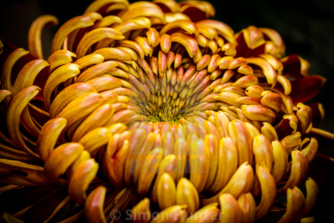 """Gold Chrysanthemum"" stock image"