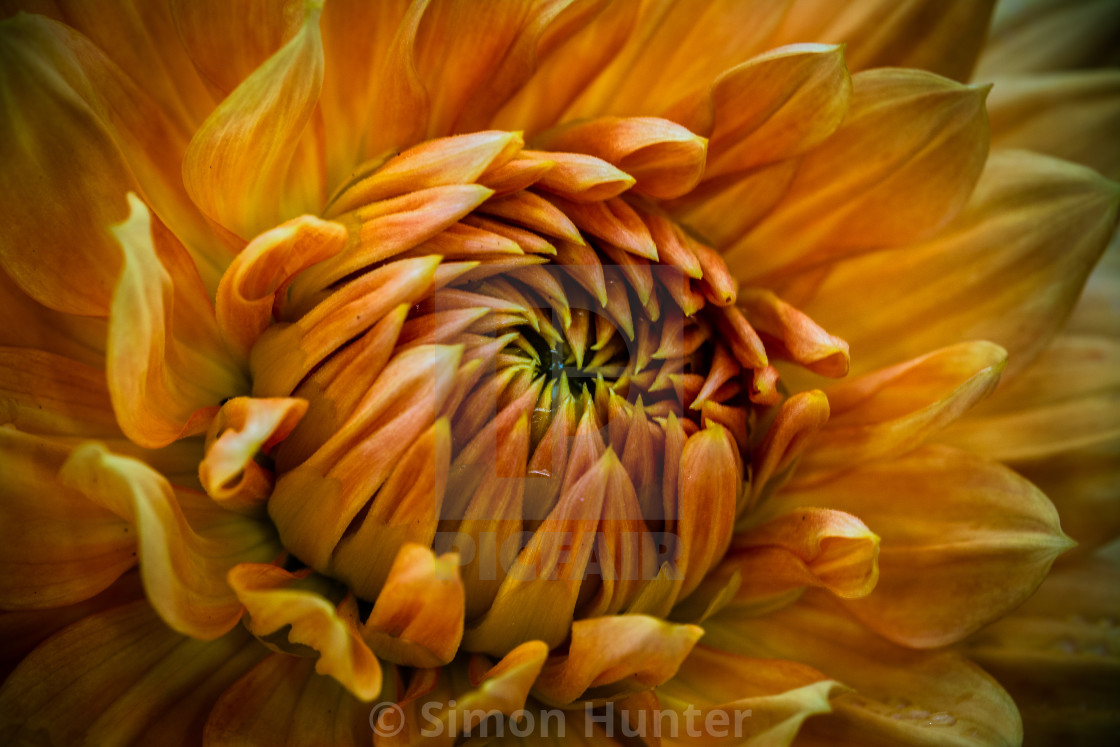 """Gold Dahlia"" stock image"