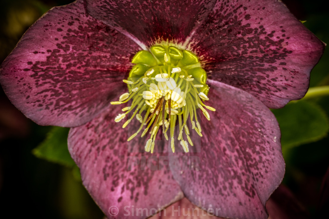 """Dark Hellebore Flower"" stock image"