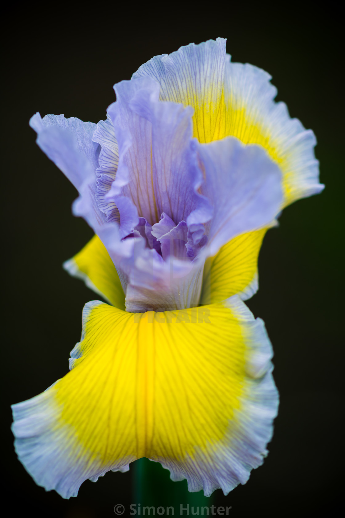 """Yellow Iris flower"" stock image"