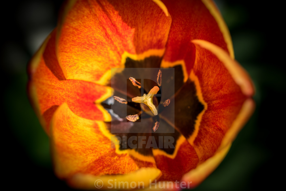 """Red and orange Tulip"" stock image"