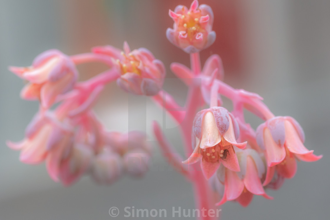 """Lovely pink succulent flowers"" stock image"