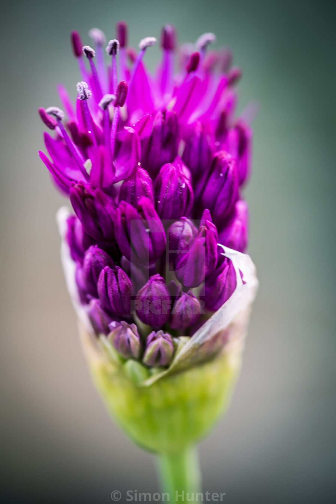 """Allium sprouting"" stock image"