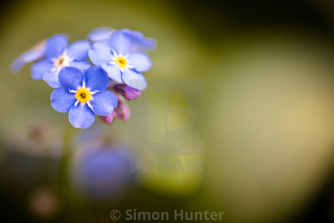 """Blue Forget-me-nots"" stock image"