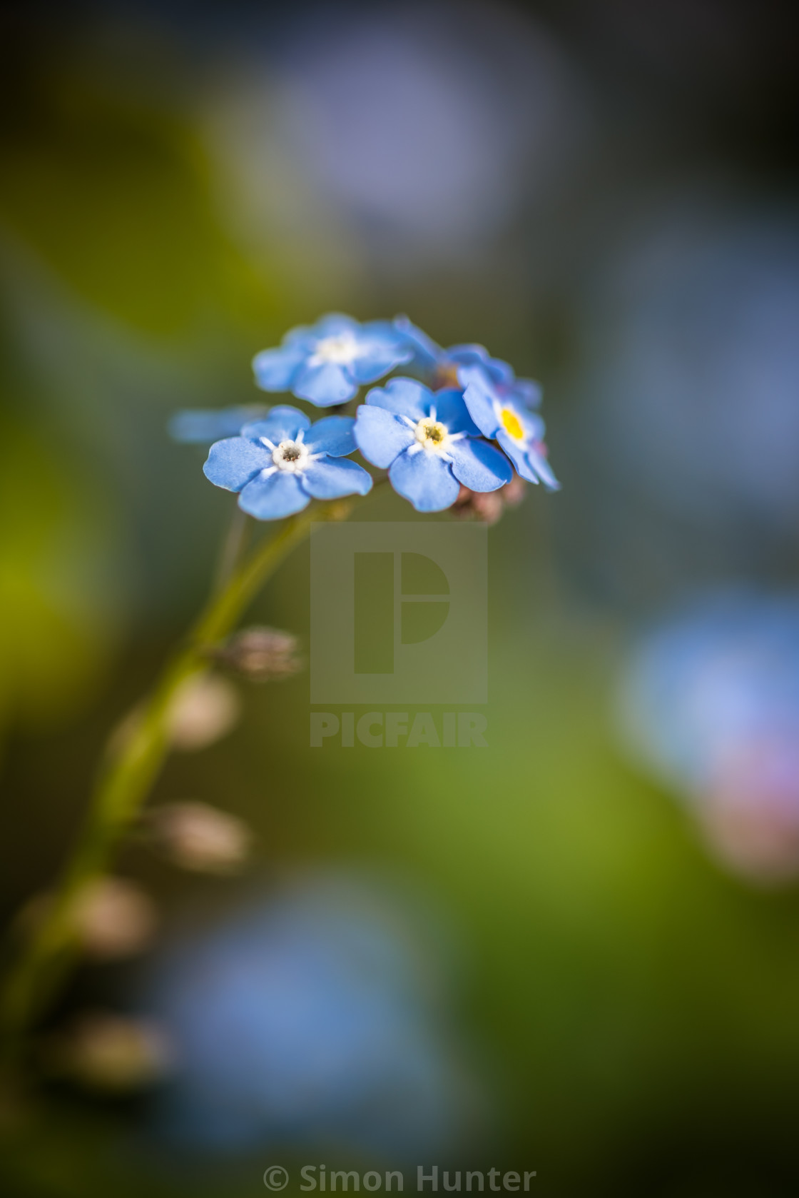 """""""Blue Forget-me-nots"""" stock image"""