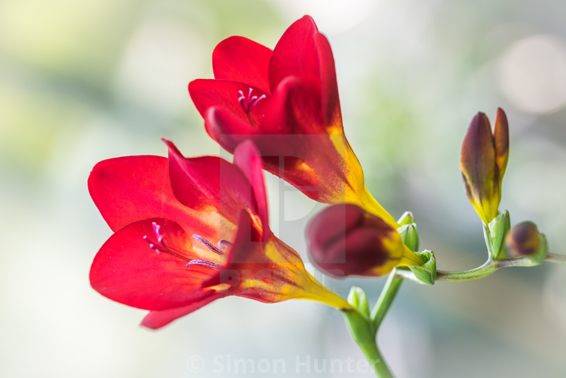"""Red & Yellow Freesia"" stock image"