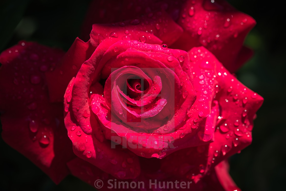 """Macro picture of red garden rose"" stock image"