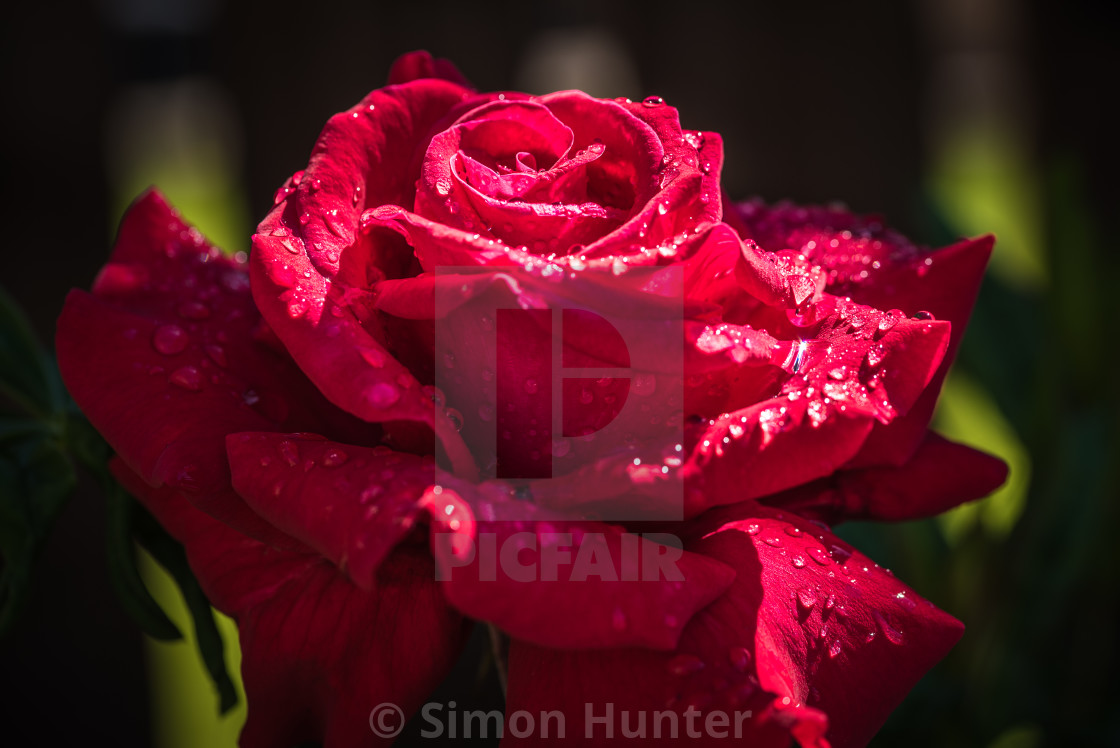 """Gorgeous red garden rose"" stock image"