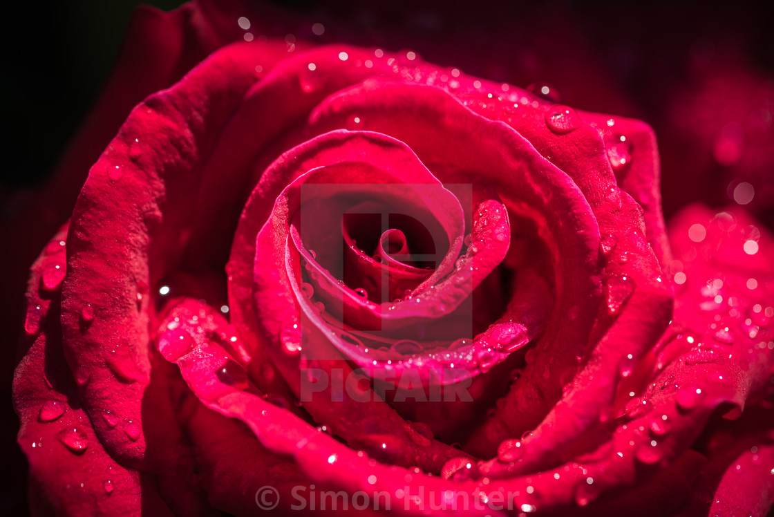 """Close up of a red garden rose"" stock image"