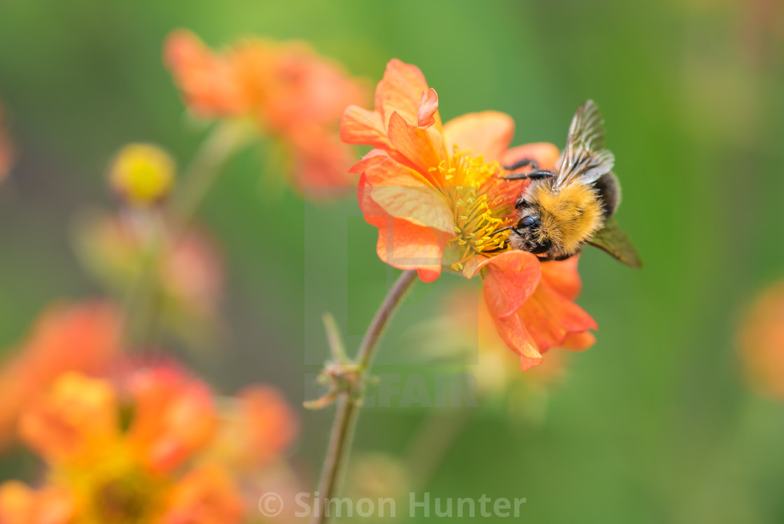 """Bee on a Tangerine Geum"" stock image"