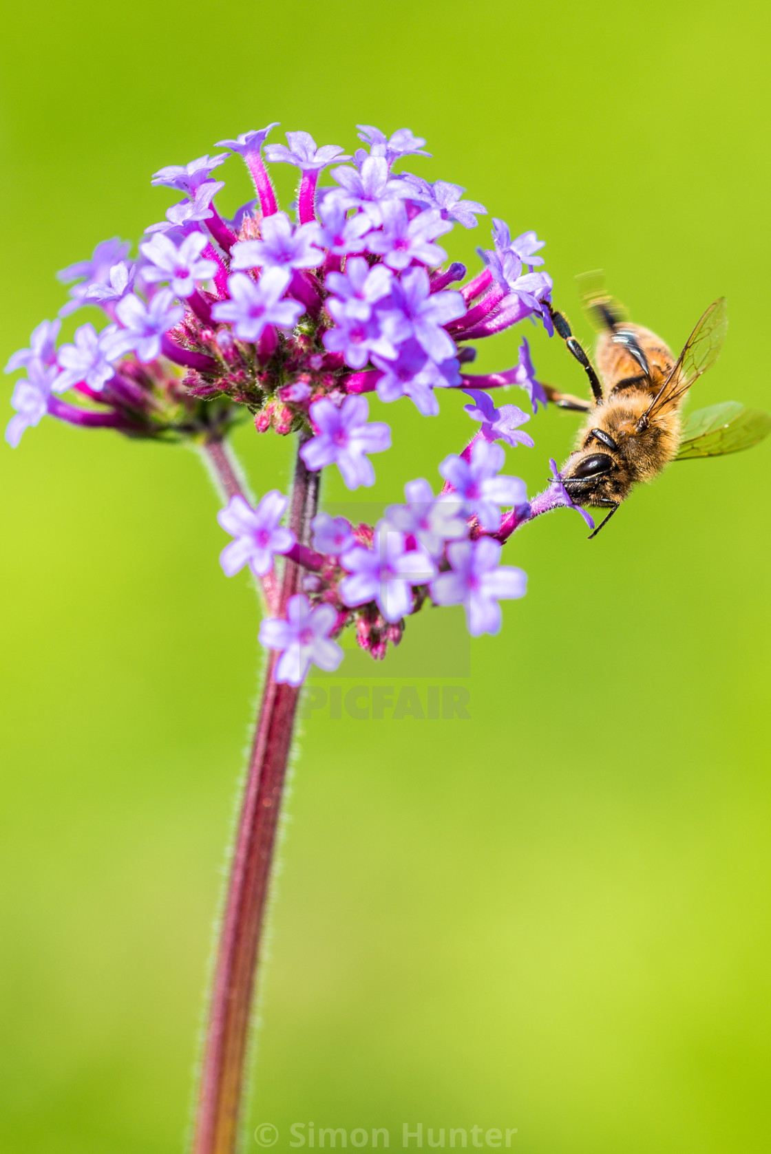 """Bee moving round a Verbena flower"" stock image"