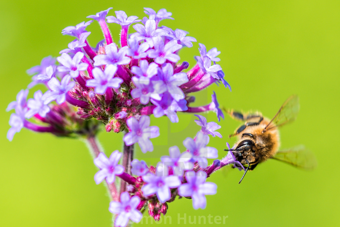 """Close-up of a bee collecting pollen from a Verbena flower"" stock image"