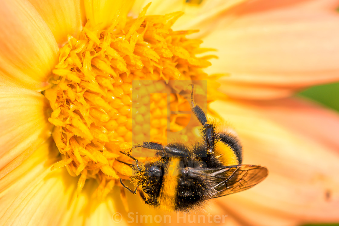 """Close-up of a bee on a Dahlia"" stock image"