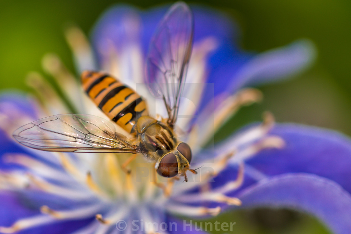 """Macro shot of a hoverfly on a Clematis flower"" stock image"