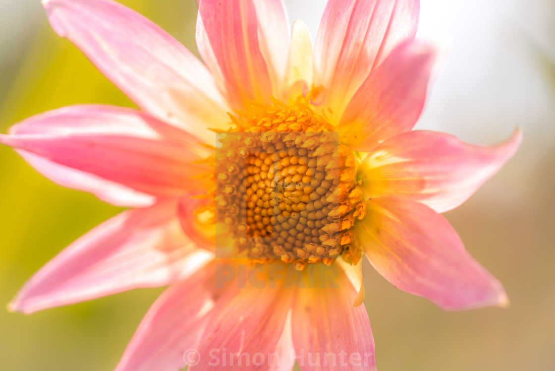 """Dahlia backlit by the sun"" stock image"