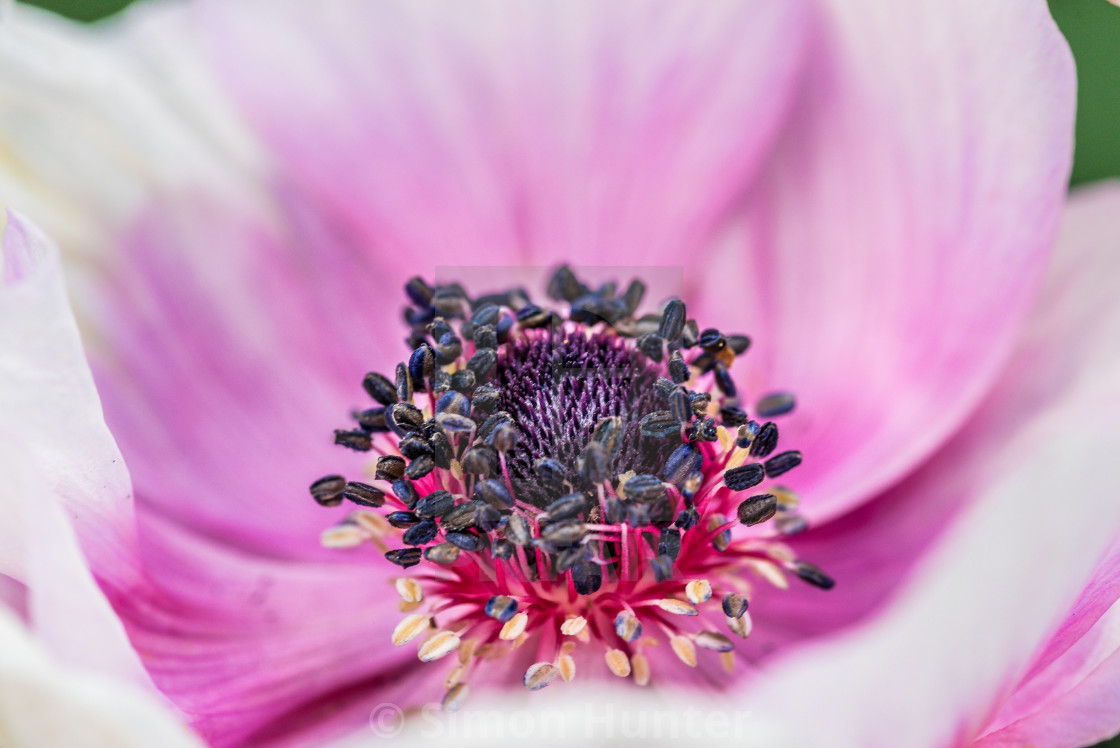 """Anemone close-up"" stock image"