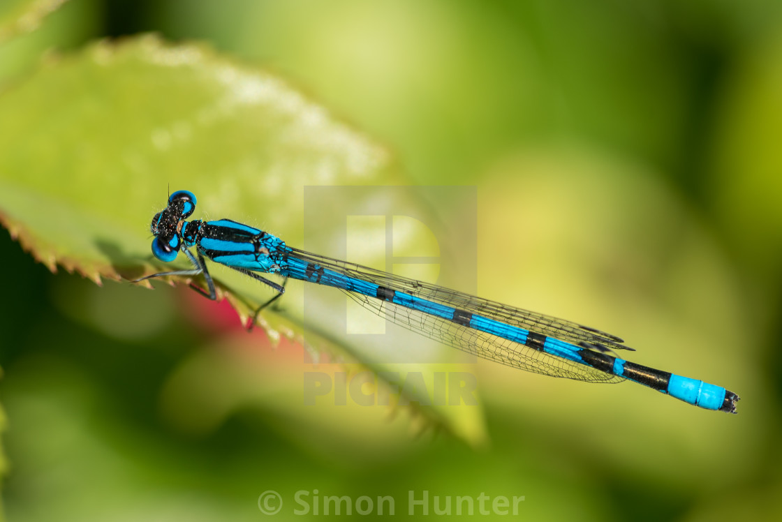 """Macro picture of an electric blue damselfly"" stock image"