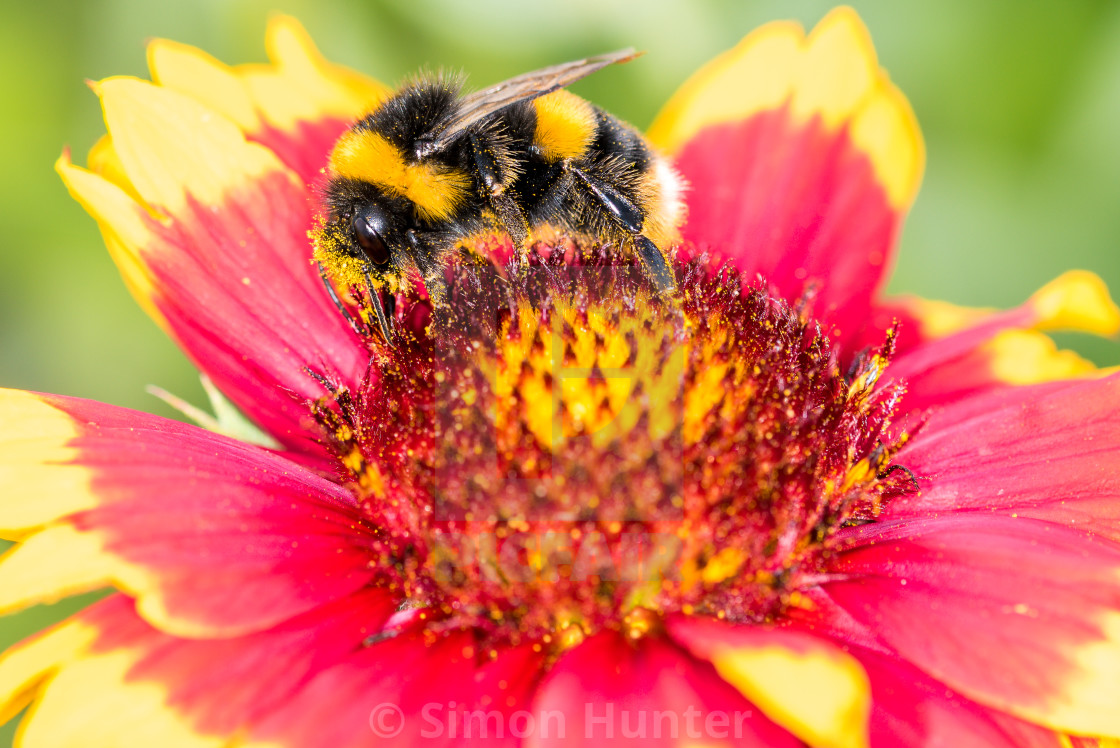 """Macro pic of a bumble bee"" stock image"