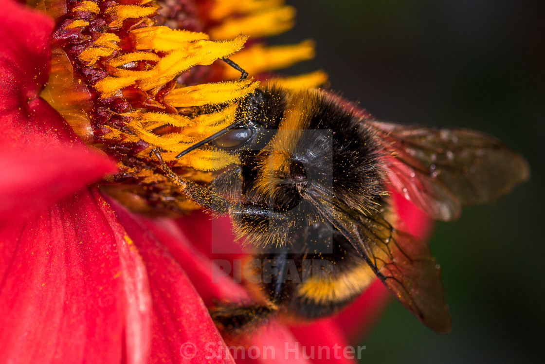 """Macro shot of a bee looking for pollen"" stock image"