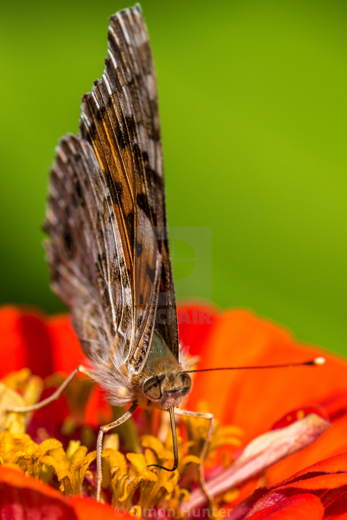 """Macro shot of a Painted Lady Butterfly"" stock image"
