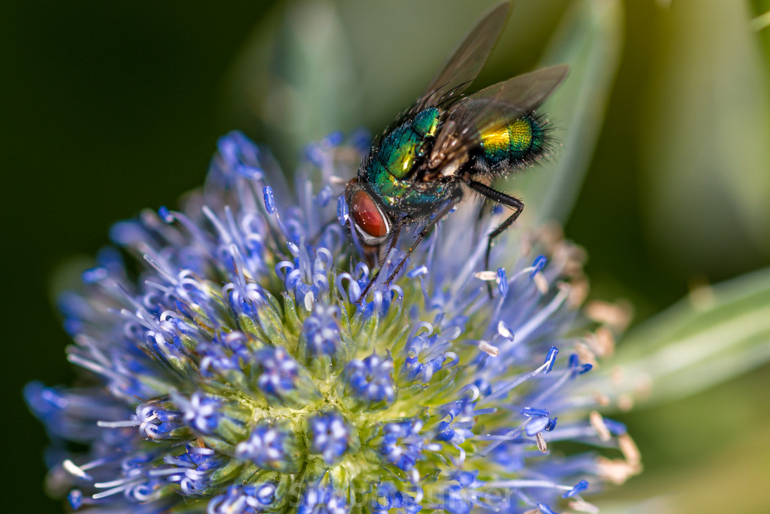 """Fly on a Eryngium flower"" stock image"