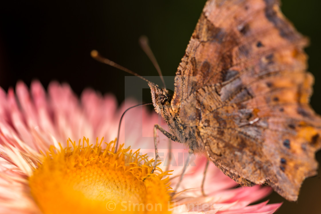 """Macro picture of a Butterfly"" stock image"
