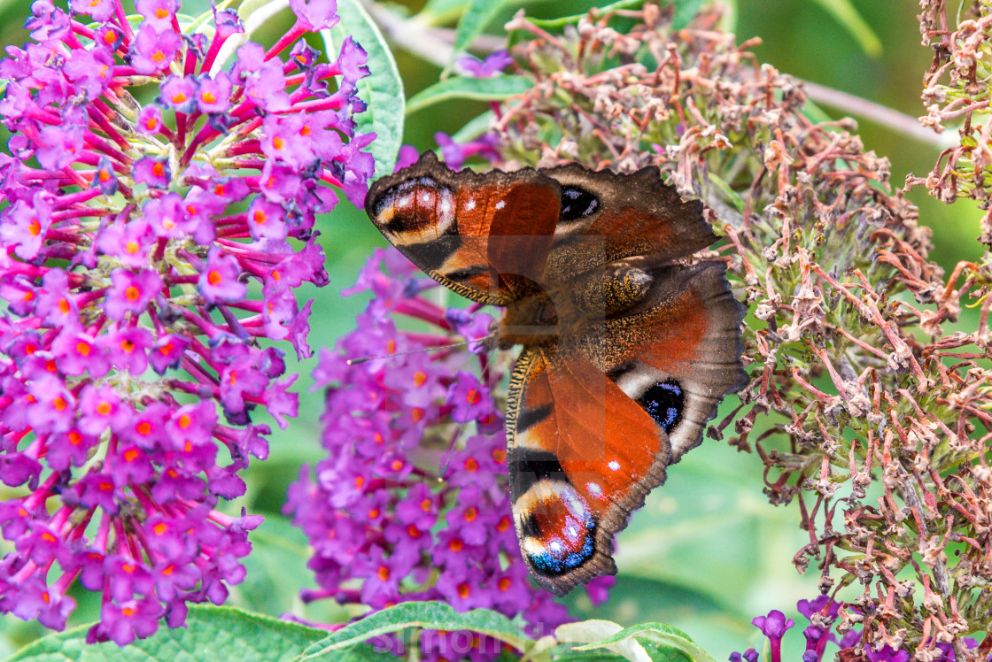 """Peacock Butterfly on a Buddleia"" stock image"