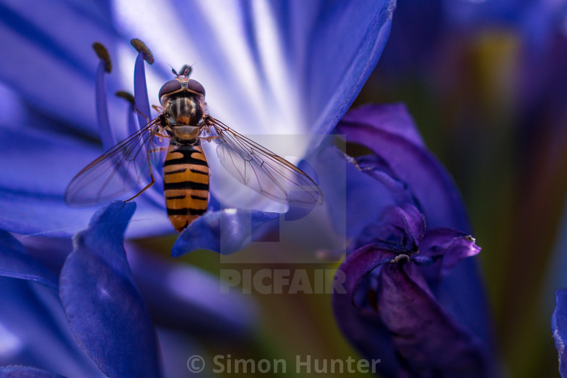 """Hoverfly on an Agapanthus"" stock image"