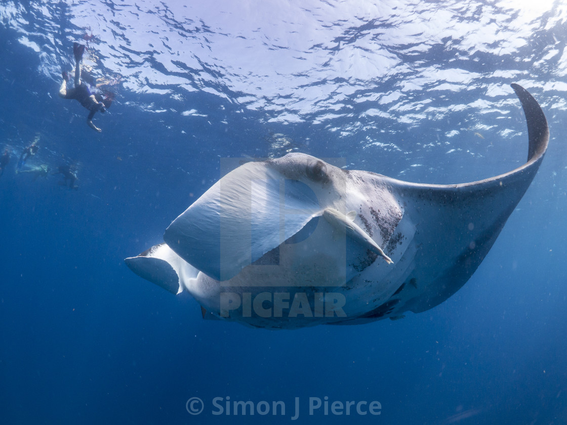 """""""Manta ray and swimmers off Isla Mujeres, Mexico"""" stock image"""