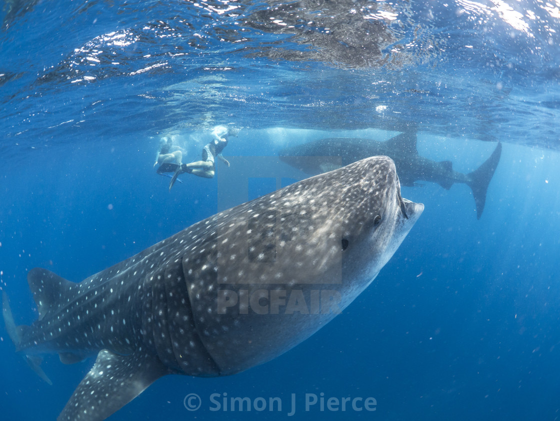 """Whale sharks and swimmers"" stock image"