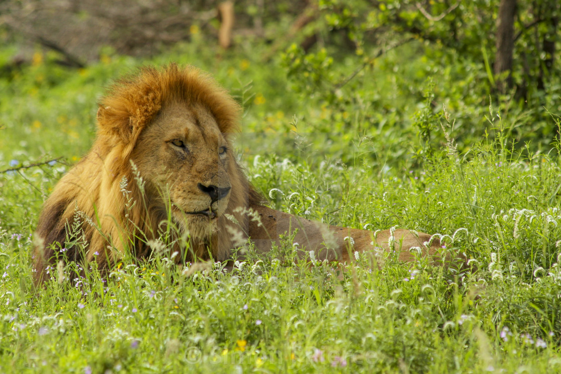 """Lion relaxing in a meadow in Kruger National Park, South Africa"" stock image"