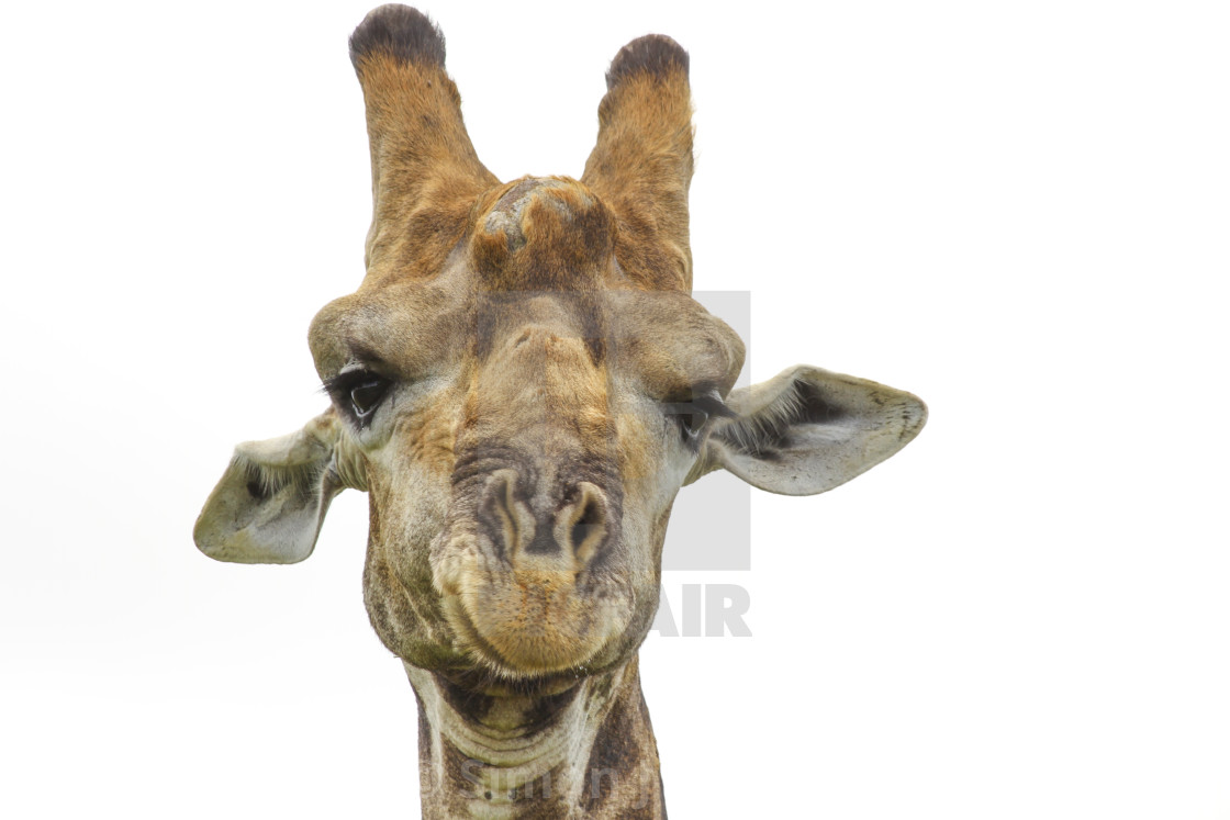 """Giraffe profile shot, Kruger National Park, South Africa"" stock image"