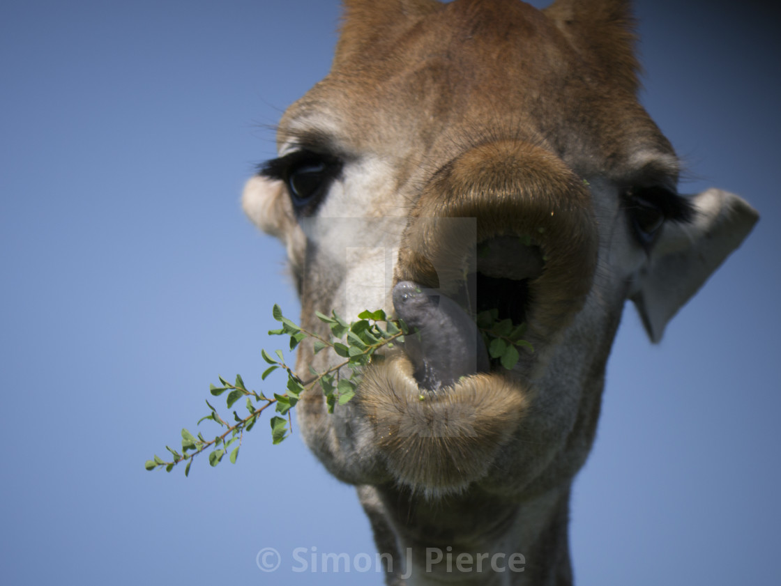 """Cute Giraffe - close-up of mouth and tongue"" stock image"