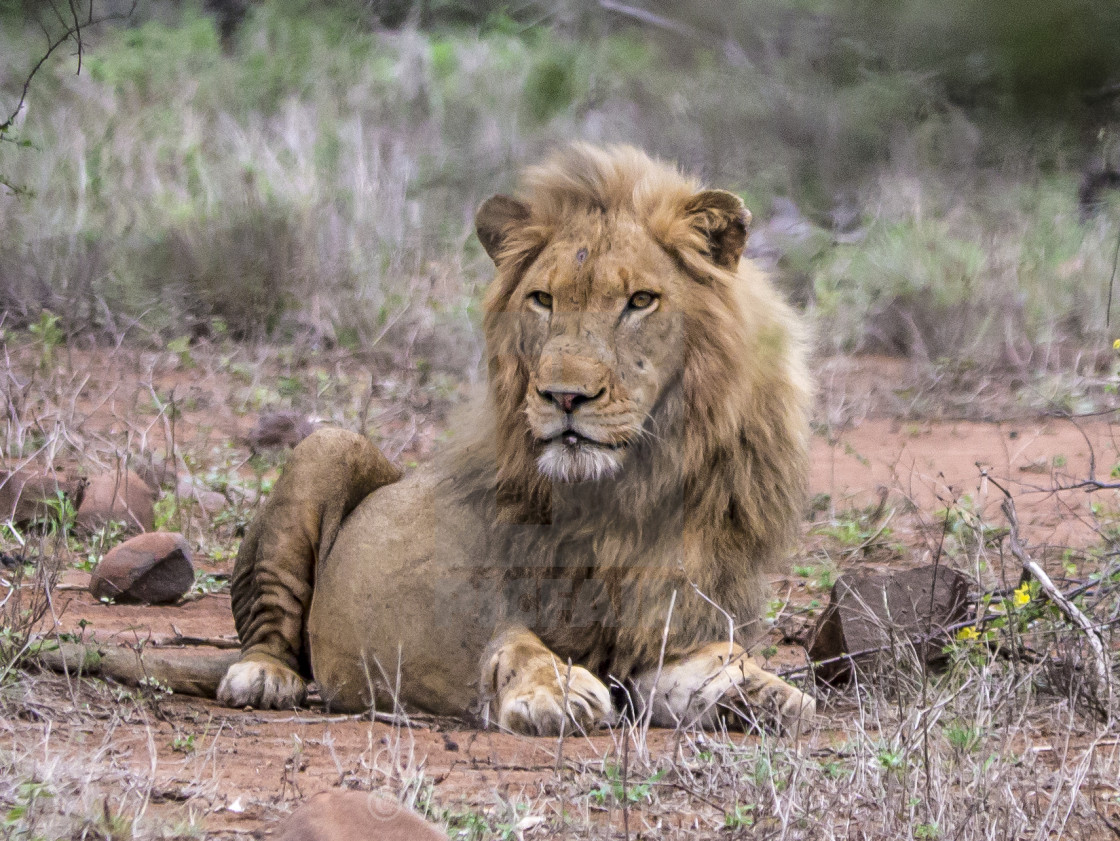 """""""Solitary lion in Kruger National Park, South Africa"""" stock image"""