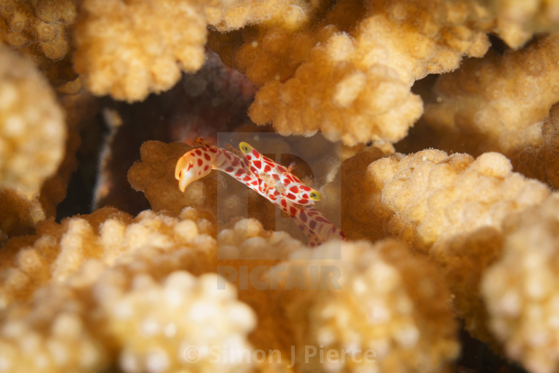 """Red-spotted guard crab in staghorn coral in Mafia Island Marine"" stock image"