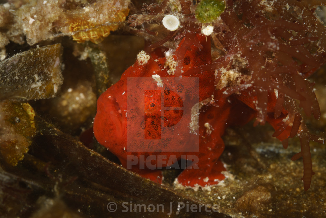 """Tiny red frogfish at Mafia Island Marine Park, Tanzania"" stock image"