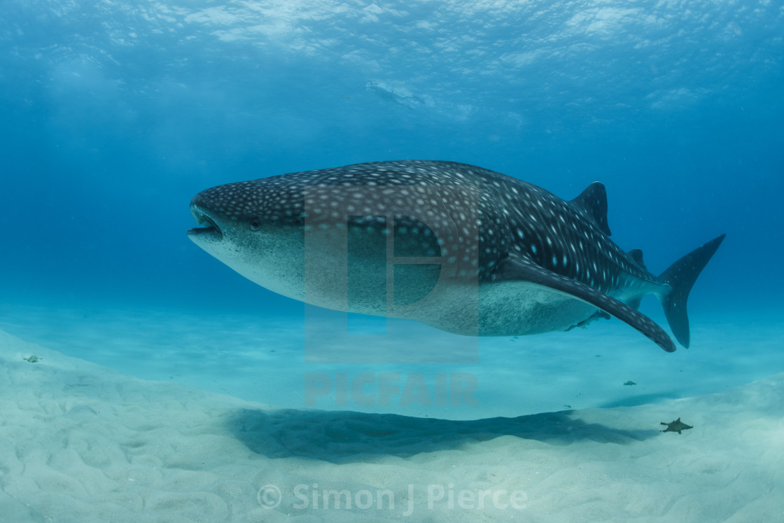 Whale shark swimming over a shallow sandbank at Mafia Island