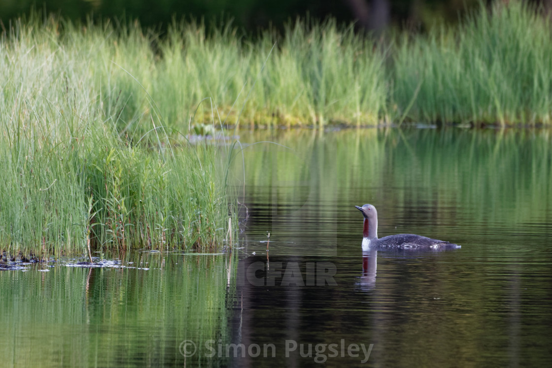 """""""Red Throated Diver"""" stock image"""