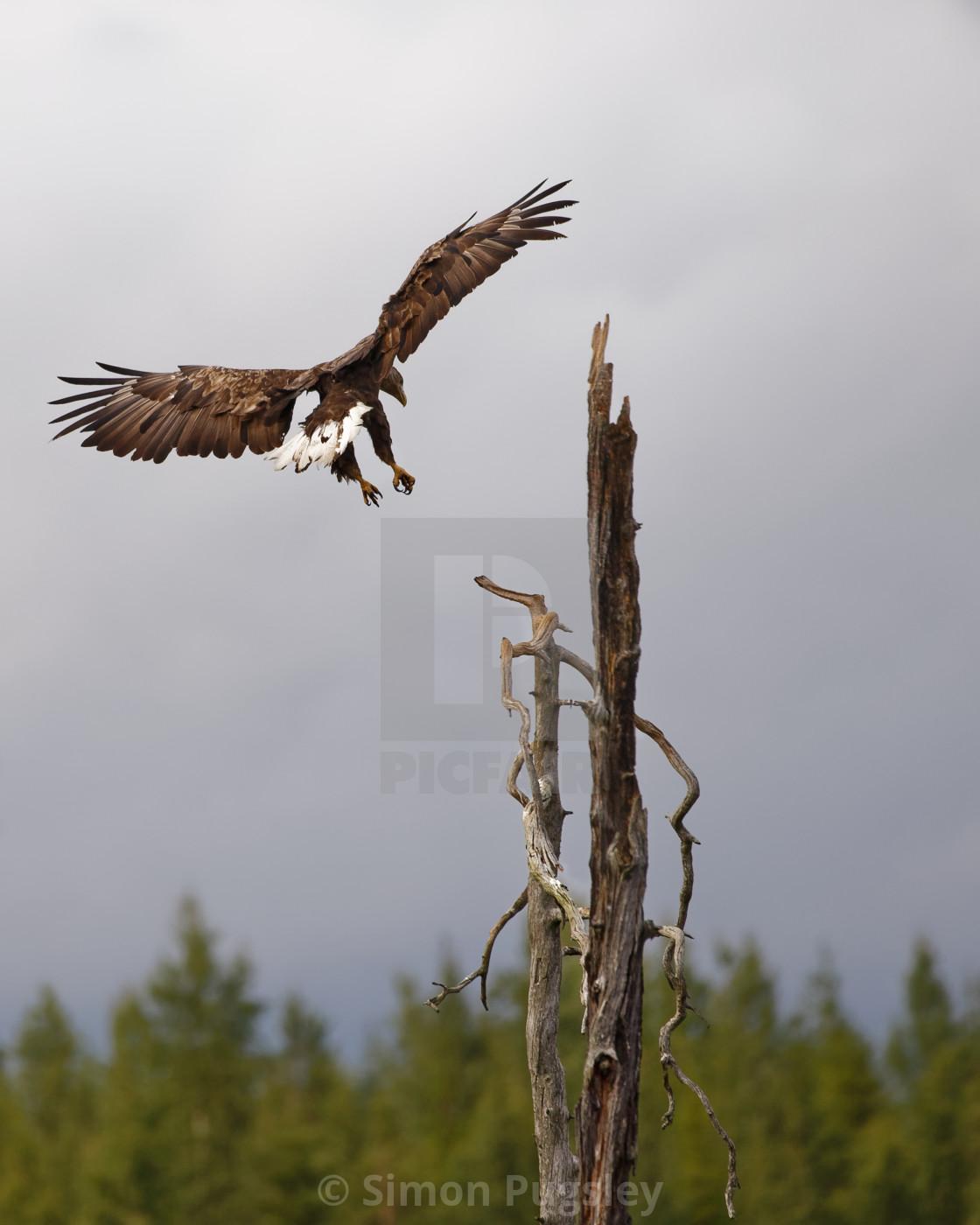 """""""White Tailed Eagle Landing"""" stock image"""