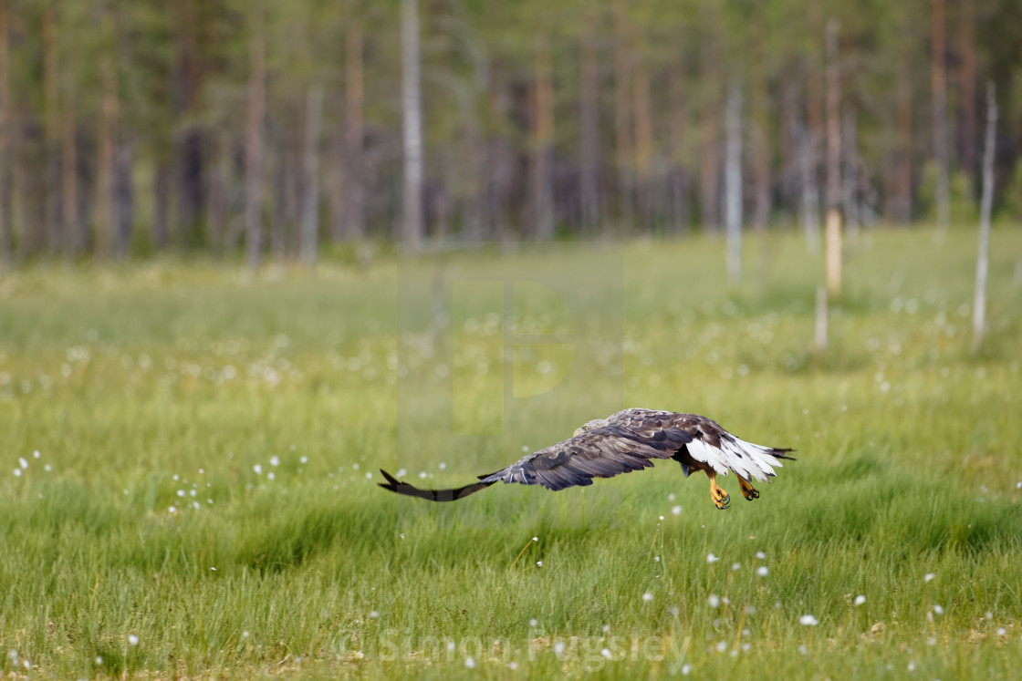 """White Tailed Eagle take off"" stock image"