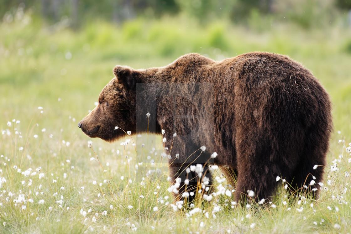 """Brown Bear"" stock image"