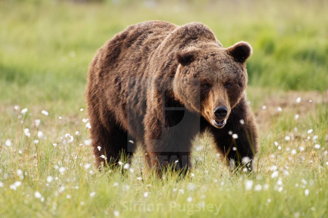 """Brown Bear"" stock image"