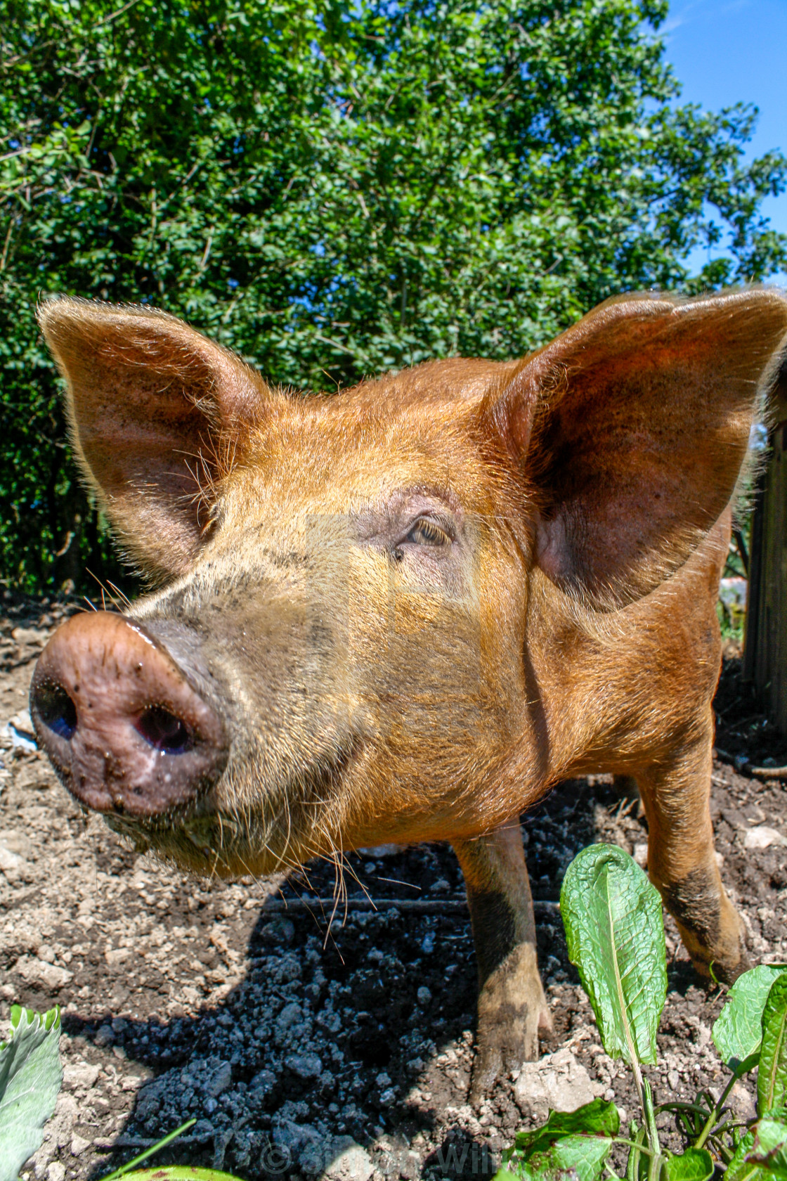 """Brown Pig Free Range - portrait"" stock image"
